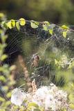 在一个网的蜘蛛本质上 库存照片
