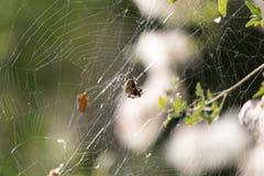 在一个网的蜘蛛本质上 图库摄影