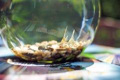 在一个美丽的圆的水族馆的金鱼 免版税库存图片
