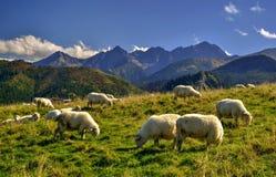 在一个美丽的山草甸的绵羊 库存照片