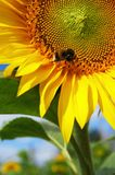 在一个美丽的开花的向日葵的大土蜂 免版税库存图片