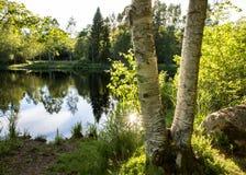 在一个美丽的池塘前面的两根桦树树干有反射的在水中和绿色树和灌木 晒裂 免版税库存图片