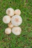 在一个美丽的草甸的小白色蘑菇 背景 免版税库存照片