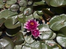 在一个美丽的豪宅的Waterlilies在阿什维尔北卡罗来纳美国 库存照片