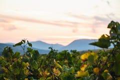 在一个美好的葡萄园风景后的被弄脏的小山 库存照片
