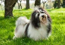 在一个美好的晴朗的象草的领域的逗人喜爱的Havanese狗 库存图片