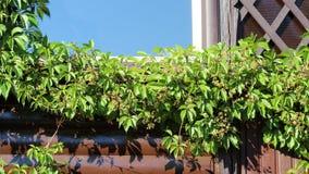 在一个老大厦的墙壁上的狂放的葡萄 库存照片