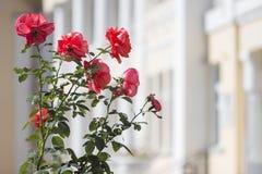 在一个老大厦的背景的桃红色玫瑰 免版税库存图片