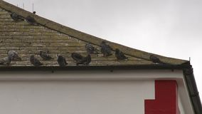 在一个老屋顶的鸽子 股票录像