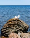 在一个老岩石的两只幼小鸥 免版税库存照片