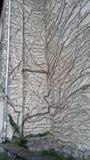 在一个老房子的墙壁上的大常春藤在秋天 免版税库存照片