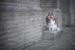 在一个老教会的砖墙的前面设德蓝群岛牧羊犬, 免版税库存照片