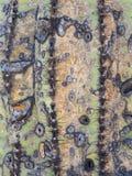 在一个老柱仙人掌仙人掌的独特的纹理 库存照片