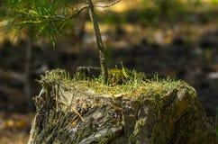 在一个老树桩的一根杉树树苗点燃了与明亮的太阳 图库摄影