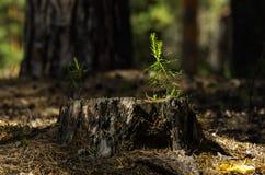 在一个老树桩的杉树树苗点燃了与明亮的太阳 库存照片