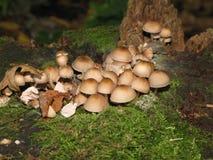 在一个老树桩的蘑菇 免版税库存照片