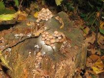 在一个老树桩的蘑菇 库存图片
