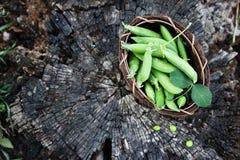 在一个老树桩的绿豆 免版税库存图片