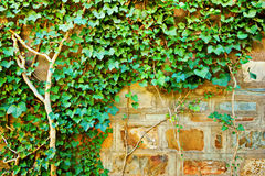 背景,在石墙上的常春藤 免版税库存照片