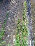 在一个老石墙上的绿色常春藤植物 免版税库存图片
