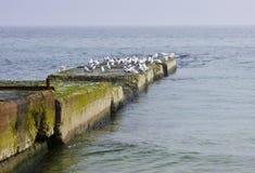 在一个老码头的海鸥 免版税图库摄影