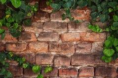 在一个老砖墙上的常春藤框架 免版税库存图片