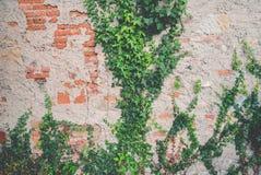 在一个老砖墙上的常春藤 免版税库存照片