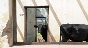 在一个老被放弃的房子里面的黑母牛 免版税库存照片