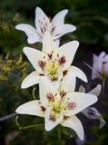 在一个耕种的庭院里 三在绿色背景的大美丽的白百合花 免版税库存图片