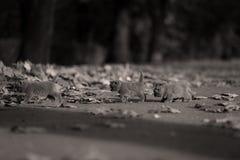 在一个胡同的英国Shorthair小猫有秋叶的 免版税库存图片