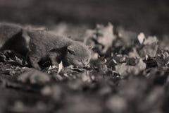 在一个胡同的英国Shorthair小猫有秋叶的 库存图片