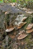 在一个腐烂的树干的真菌从关闭 图库摄影