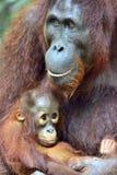 在一个自然生态环境照顾猩猩和崽 Bornean猩猩类人猿在狂放的自然的pygmaeus wurmbii Islan雨林  免版税库存图片