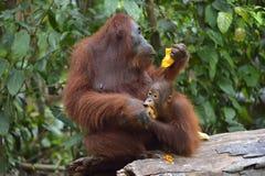 在一个自然生态环境照顾猩猩和崽 Bornean猩猩类人猿在狂放的自然的pygmaeus wurmmbii Isla雨林  库存图片