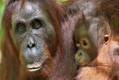 在一个自然生态环境照顾猩猩和崽 Bornean猩猩类人猿在狂放的自然的pygmaeus wurmmbii Isla雨林  免版税库存图片