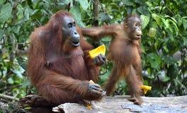 在一个自然生态环境照顾猩猩和崽 Bornean猩猩类人猿在狂放的自然的pygmaeus wurmmbii Isla雨林  库存照片