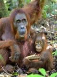 在一个自然生态环境照顾猩猩和崽 Bornean猩猩类人猿pygmaeus wurmbii 免版税库存照片