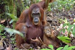 在一个自然生态环境照顾猩猩和崽 bornean猩猩 免版税图库摄影