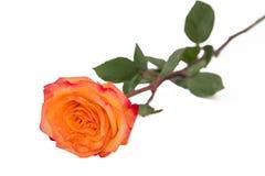 在一个自然词根的一朵唯一金黄黄色玫瑰与绿色玫瑰离开 查出在与裁减路线的白色 免版税库存图片
