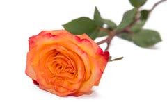 在一个自然词根的一朵唯一金黄黄色玫瑰与绿色玫瑰离开 查出在与裁减路线的白色 图库摄影