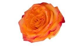 在一个自然词根的一朵唯一金黄黄色玫瑰与绿色玫瑰离开 查出在与裁减路线的白色 库存图片