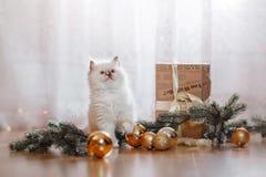 在一个色的背景演播室的Ragdoll蓝蚝小的小猫 库存照片