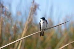 在一个芦苇分支栖息的树燕子 图库摄影
