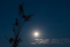 在一个芦苇剪影附近的美丽的沈默满月夜空 库存照片