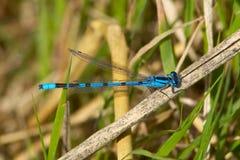 在一个芦苇词根的共同的蓝色蜻蜓 库存图片