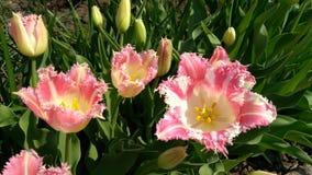 在一个花园的桃红色郁金香在春日 图库摄影