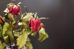 在一个花瓶的干玫瑰在黑背景的木桌上 免版税图库摄影