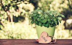 在一个花盆的新鲜的芳香薄菏在桌上 在绿色被弄脏的背景的薄荷的灌木 浪漫礼品 葡萄酒设色 图库摄影