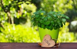 在一个花盆的新鲜的芳香薄菏在桌上 在绿色被弄脏的背景的薄荷的灌木 库存图片