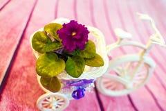 在一个花盆的紫罗兰以三轮车的形式 图库摄影